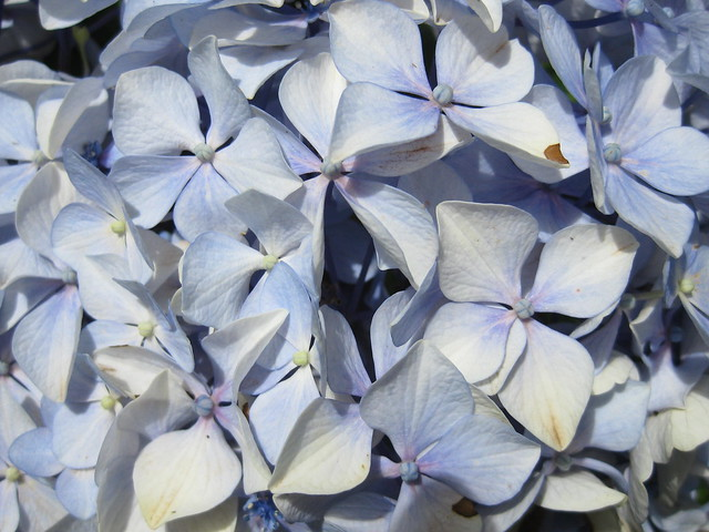 A Blue Hydrangea – The George Tinsdale Memorial Gardens, Sherbrooke