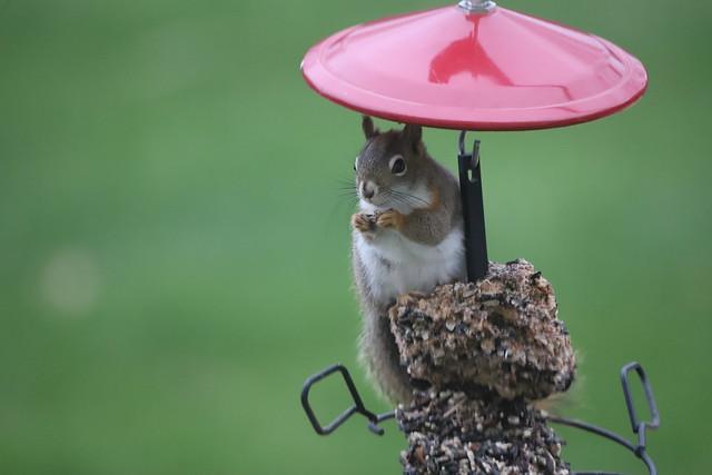 Backyard Red Squirrels at Home (Saline, Michigan) - April 26th, 2020