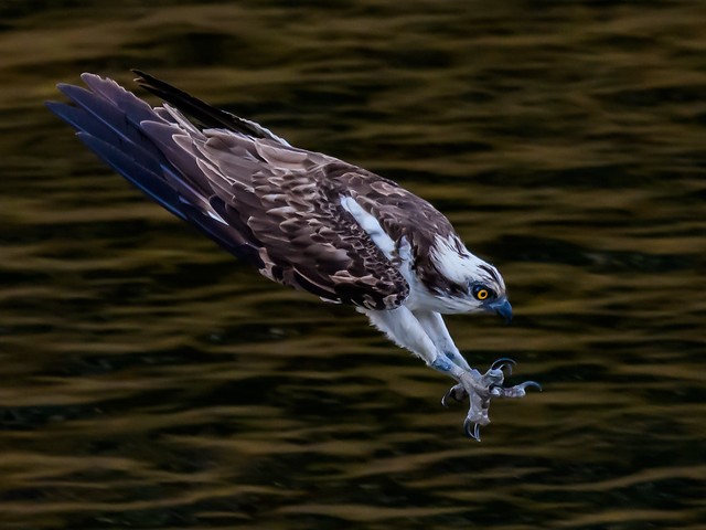Diving Osprey just before impact with the water