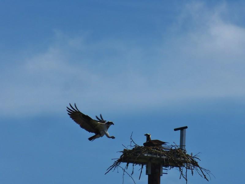 Osprey landing at the Salem Audubon Nature Reserve