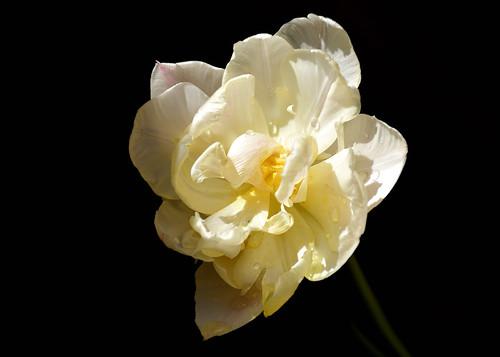eechillington nikond7500 viewnxi tulip flower impressionistic covid19 quarantine selfisolation