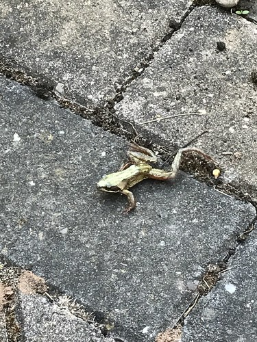 Poorly Frog