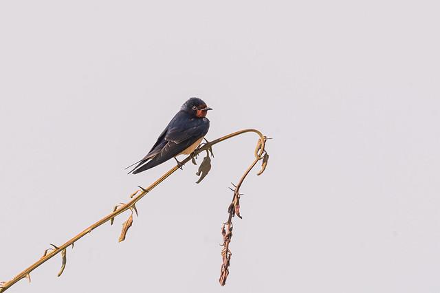 Oreneta vulgar - Golondrina comun - Hirondelle rustique - Hirundo rustica - Barn swallow
