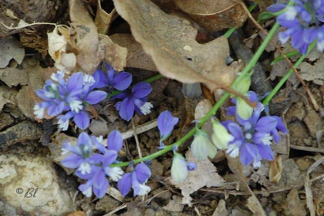 Petit flou bleu sous feuilles d'hiver (polygala calcarea)