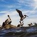 Flickr photo 'Pelican Sticks the Landing on the Jetty' by: Phil's 1stPix.