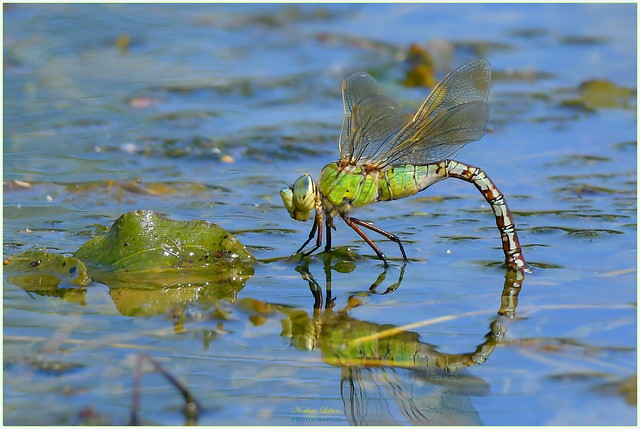Anax empereur femelle ( Anax imperator - Empereur Dragonfly )