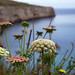 Maltese Wildflowers