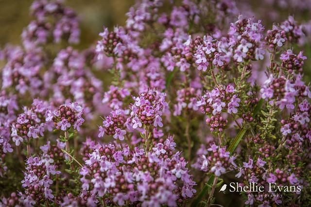 Flowering Thyme- Central Otago