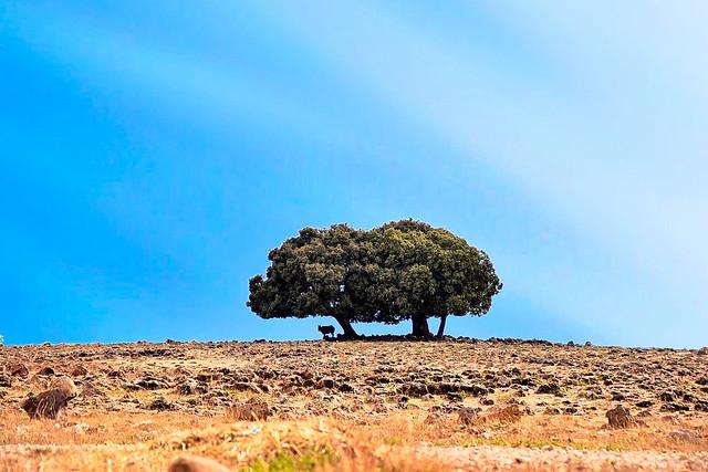 A Caw under a Tree