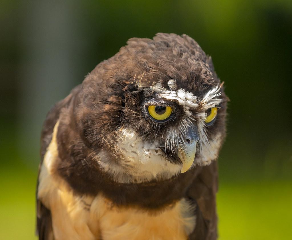 Spectacled Owl / Gleraugnaugla (Pulsatrix perspicillata)