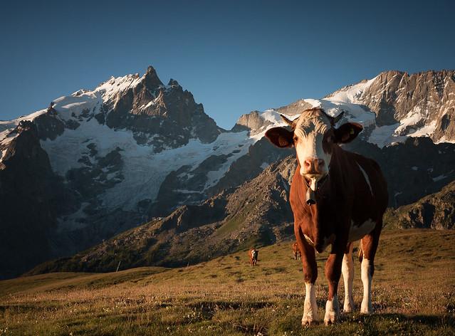 Les vaches de la Meije