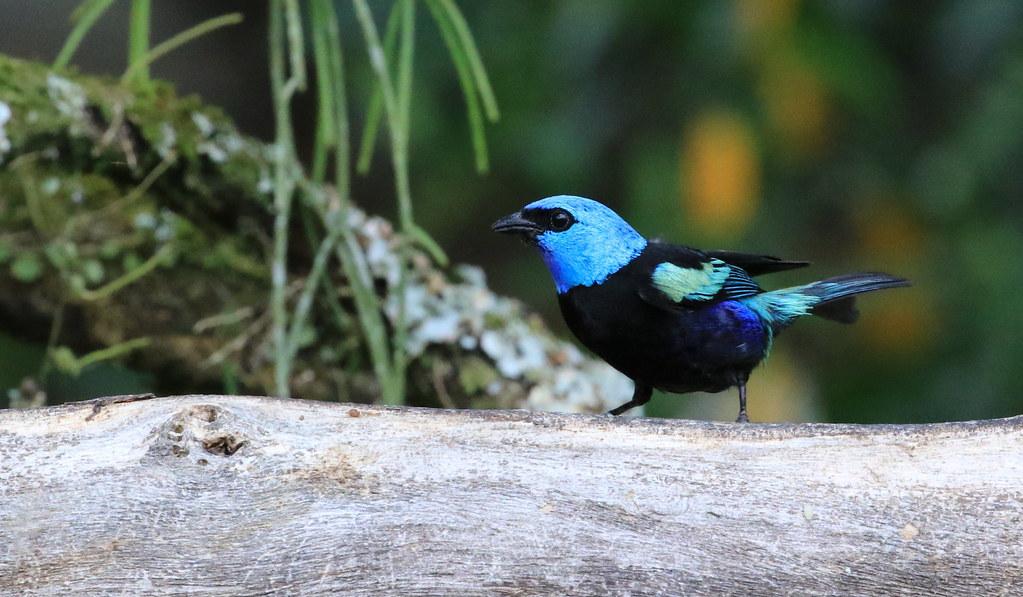 Blue-necked Tanager / Calliste à cou bleu Serie 1 / 2 ( Richard )