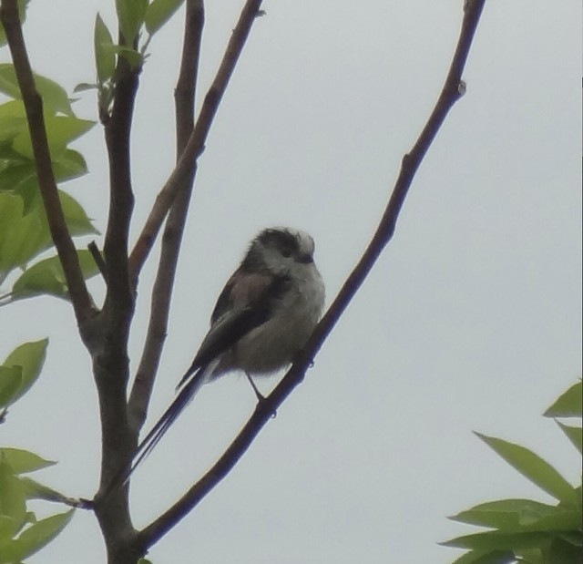 Long-tailed Tit - Enlarged