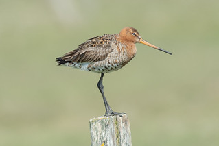 The black-tailed godwit - De grutto | by Franky Monte