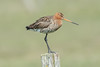 The black-tailed godwit - De grutto