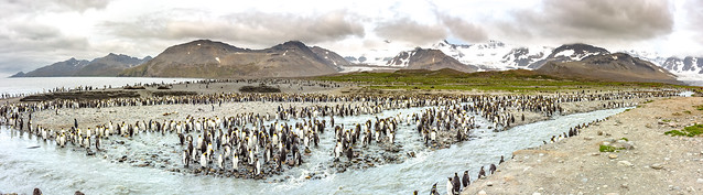 Panorama of a King Penguin colony