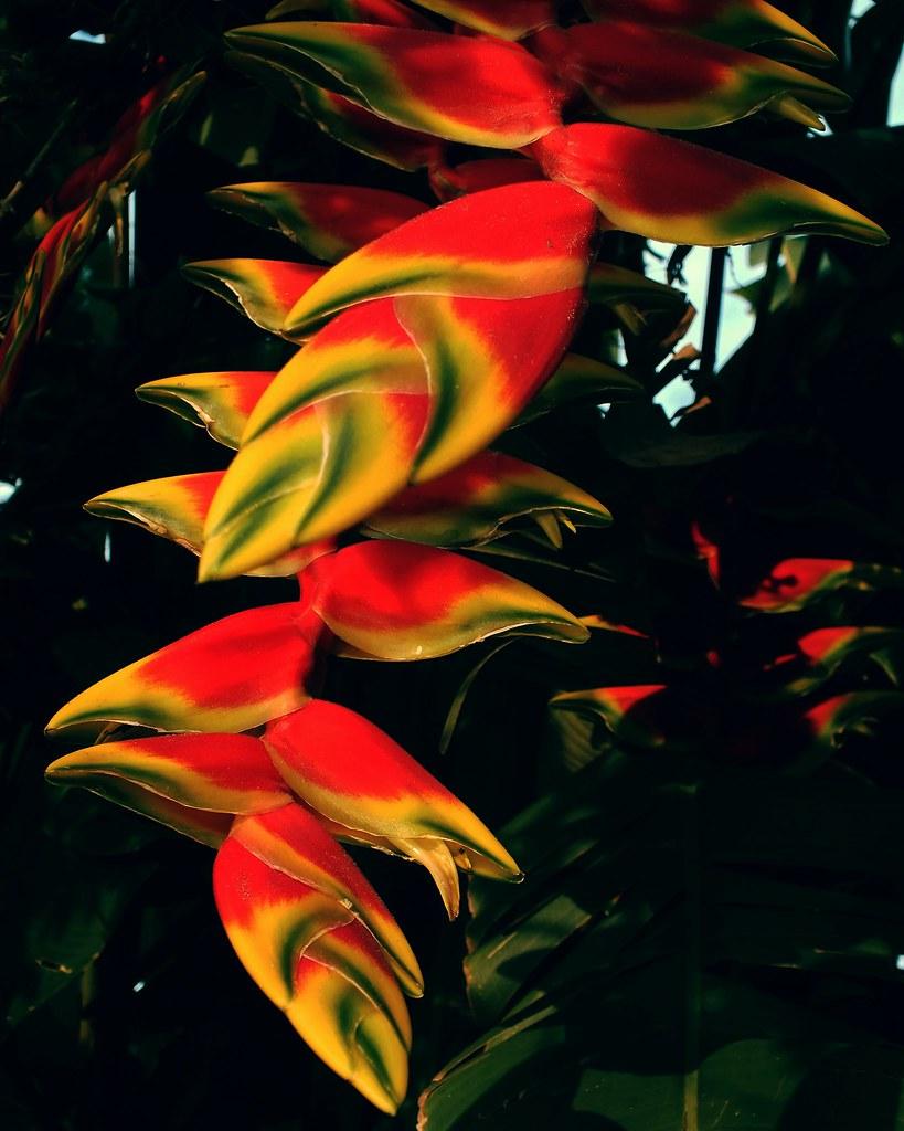 Helicônia (Heliconia rostrata)