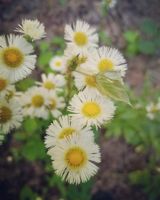 little daisy faces with kudzu