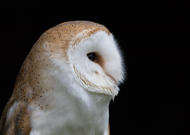 Barn Owl (Tyto alba) 9881