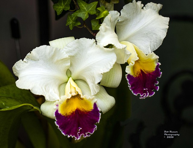 Orchid Purple Yellow & White .