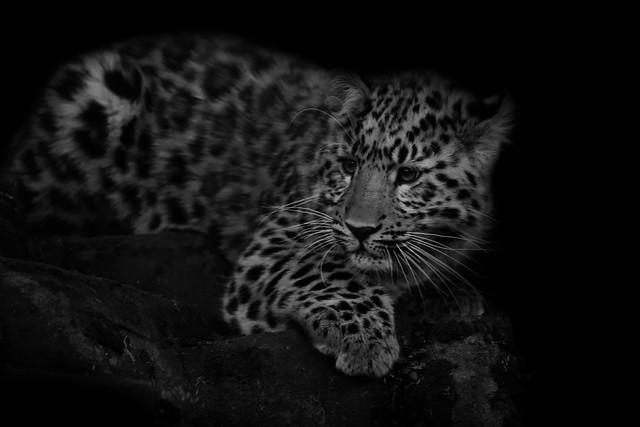 Luka the Amur Leopard Cub
