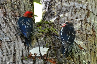 26m Parenting - Red-breasted Sapsucker (Sphyrapicus ruber) Mayne Island | by R-Gasman