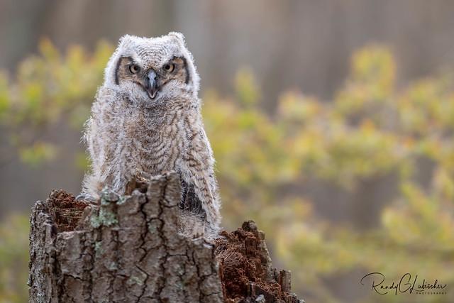 Great Horned Owl - Bubo virginianus   2020 - 11