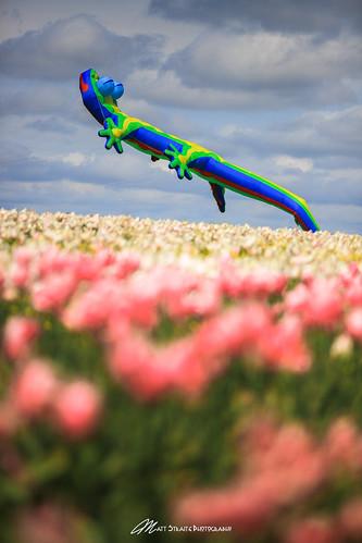 balloon tulip flower spring landscape