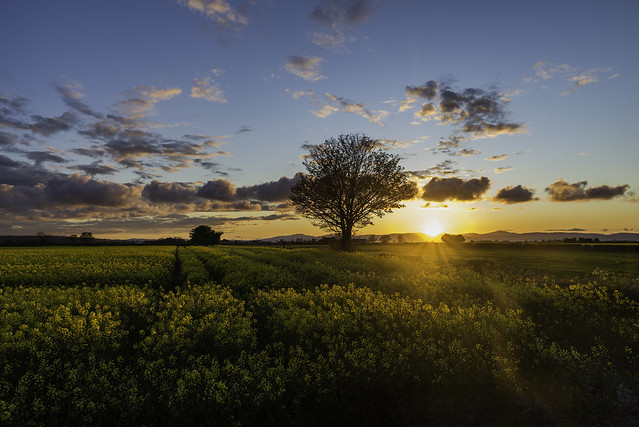 Tree in a Rapeseed field at sunset