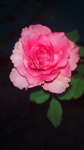 flower rose leaf dark petal love