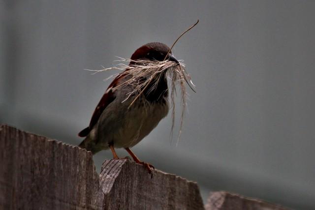 Beak full of nesting material