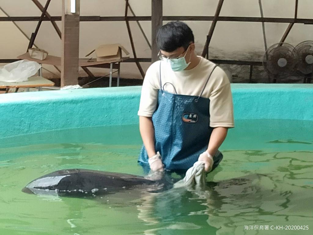安置於成大海洋生物鯨豚救援中的小虎鯨,疑似與其他死亡個體急性感染,正積極投藥中,希望能改善狀況。圖片來源:海保署提供