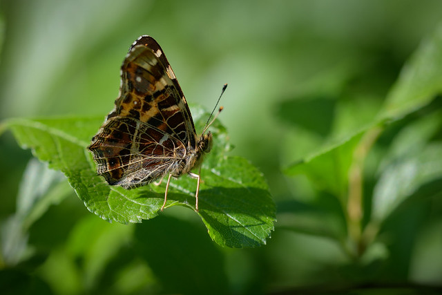 Map Butterfly,
