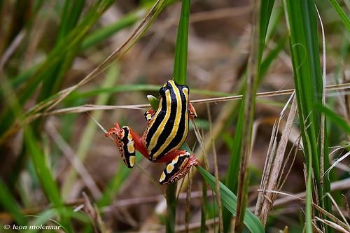 Painted Reed Frog (hyperolius Viridiflavus)
