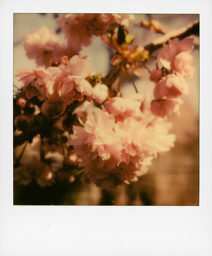 Pink Hanami
