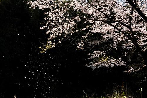 こぼれ桜ーScattering cherry tree