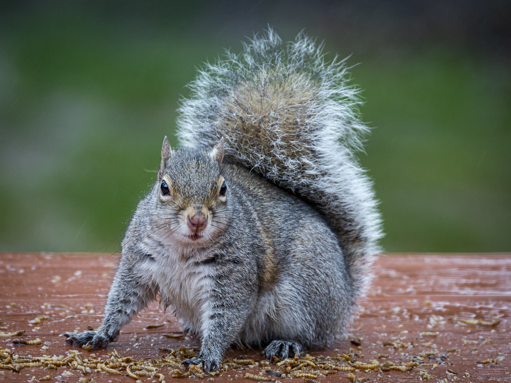 Gray squirrels cannot read