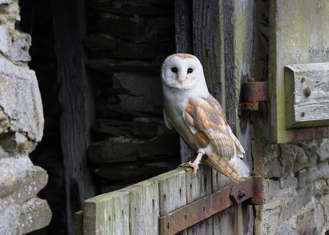 Barn Owl (Tyto alba) 9878