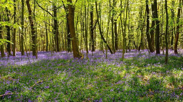 Ancient Woodland Blues..Hyacinthoides non-scripta
