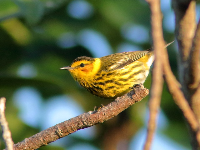 Cape May Warbler male 01-20200428