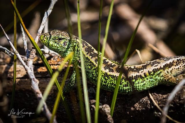Sand Lizard | Zandhagedis