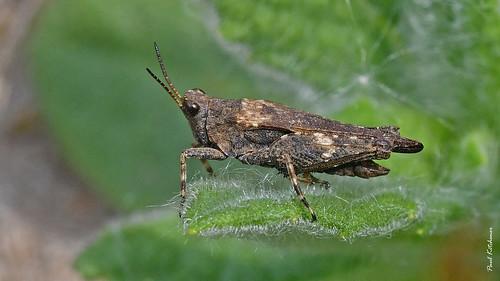 Slender Groundhopper (Tetrix subulata)