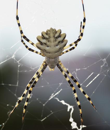 animales araña argiopelobata arácnidos canjáyar pentaxk10d