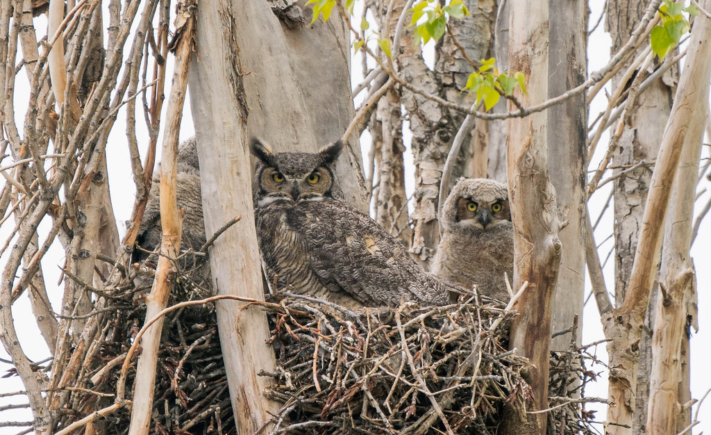 Owl family 2 (1 of 1)