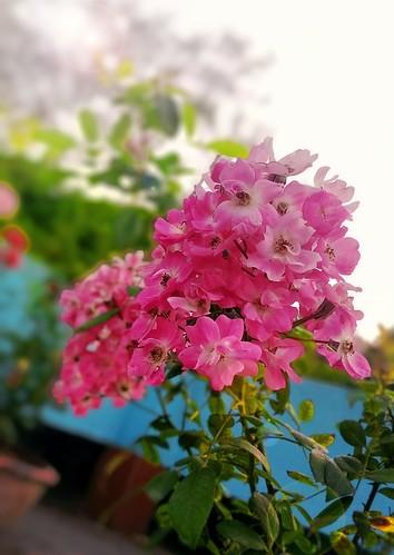 flowers leaf petal green light pink morning mobile freshness