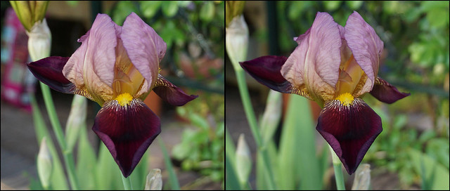 Flag Iris - stereo crossview