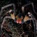 Aranha-armadeira