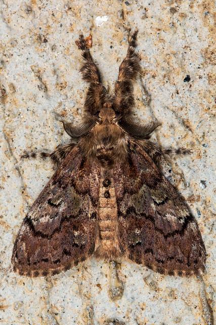 Tussock Moth - Dasychira