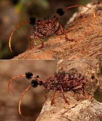 MUGSHOT - Longhorn Beetle (Aristobia horridula, Lamiinae, Cerambycidae)