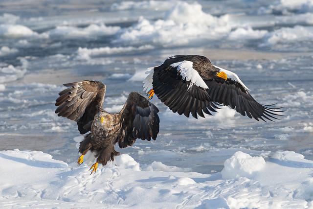 White-tailed EagleStellers Sea-eagle